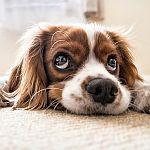 spaniel puppy die omhoog kijkt